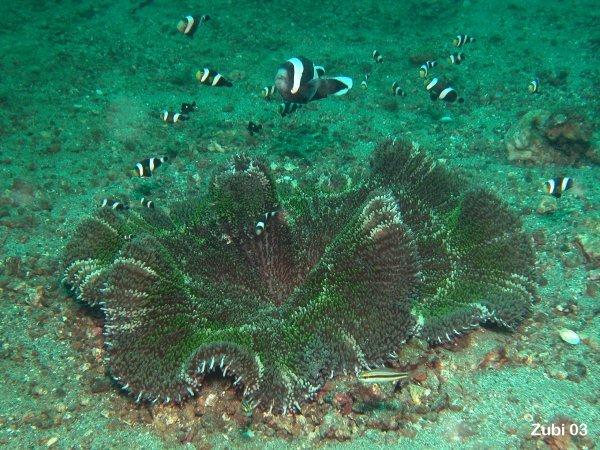 index photos of Sea Anemones  Actiniaria  Unterwasser