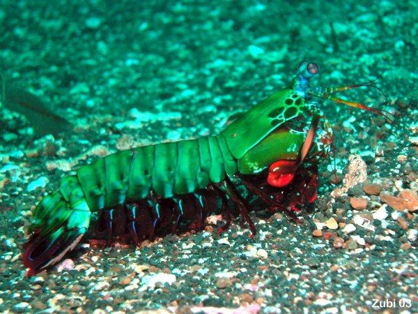 Mantis shrimp eating fish