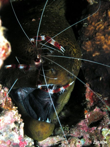 Cleaner shrimp - Scherengarnele (Stenopus hispidus)