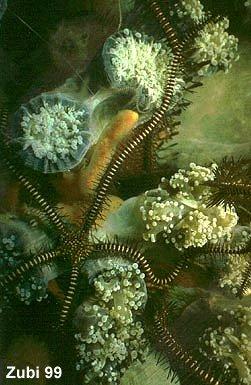 Ophiomastix-variabilis.jpg