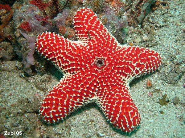 sea star seven armed sea star spiny sea star striking