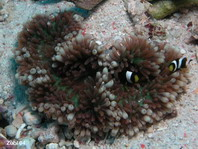 Hawaii Sea Anemone - Heteractis malu - Hawaii-Anemone