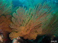 Gorgonian Sea Fan - Fächerkoralle
