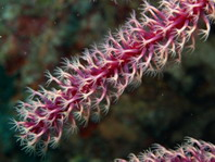 Branching Soft Coral - Ruten-Gorgonie