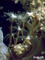 Athecate Hydroids - Anthoathecatae