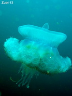 Jellyfish (Fried Egg Jellyfish) - Cotylorhiza tuberculata - Spiegeleiqualle