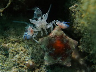 Harlequin Shrimp - Hymenocera elegans or Hymenocera picta - Harlekingarnele