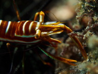 Commensal Shrimps - Periclimenes - Partnergarnelen