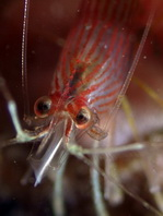 Striped Small Cleaner Shrimps - Lysmatella prima - Putzergarnele