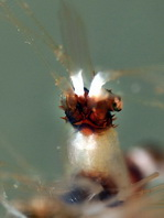 Cleaner Shrimps - Stenopodidae - Scherengarnelen