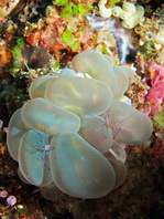 Bubble Coral Shrimp - <em>Vir philippinensis</em> - Blasenkorallen-Garnele