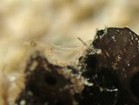 Magnificent Shrimp with eggs - Periclimenes magnificus - Pracht-Partnergarnele mit Eiern
