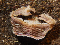 Domed Spined Elbow Crab - Cryptopodia fornicata - Dom-Ellbogenkrabbe