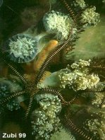 Black brittle star (Ophiomastix variabilis)