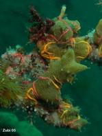 coral with brittle stars - Koralle mit Haarsternen