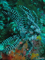 Feather star (Stephanometra