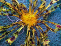 Feather Stars and Sea Lilies - Haar- oder Federsterne:  Comaster, Comanthina, Comatella, Oxycomanthus, Dichrometra, Lamprometra, Colobometra, Cenometra, Oligometra, Pontiometra, Himerometra, Zygometra, Reometra. Also animals living with featherstars (shwimps, crabs, squids, fish)