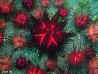 Sea urchin (Astropyga