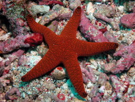 Sea stars or starfish  (Echinoderms like Valvatida, Comb Sea Star, Spinulosida, Forcipulatida) - Seesterne (Stachelhäuter wie Klappensterne, Walzensterne, Kammsterne, Stachelsterne, Zangensterne)