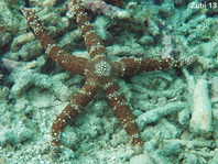 Starfish / sea star (Nardoa variolata)