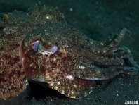 Smith's Cuttlefish - Sepia smithi - Smiths Sepia