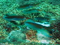 Large group of Bigfin Reef squids laying eggs - Sepioteuthis lessoniana - Grosse Gruppe von Großflossen-Riffkalmaren beim Eierlegen
