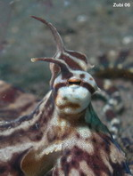 Mimic Octopus (before Octopus sp19) - Thaumoctopus mimicus - Mimik-Oktopus