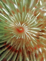 Feather Duster Worm - Protula magnifica - Röhrenwurm