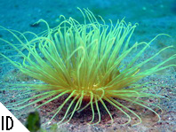 Tube Anemones - Zylinderrosen. Species on this page:  Cerianthus