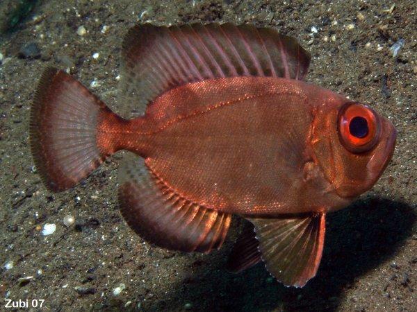 2 knochenfische verschiedene barsche mirakelbarsch for Fressen kois kleine fische
