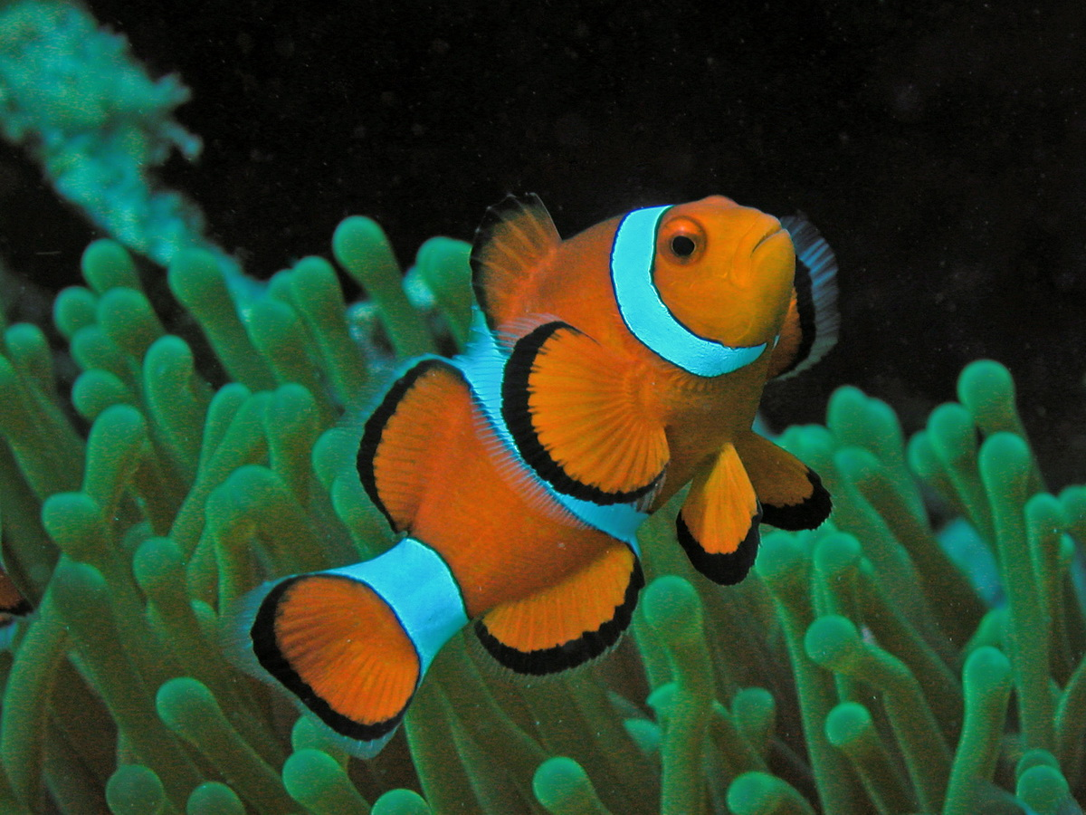 Cloun anemonefish.