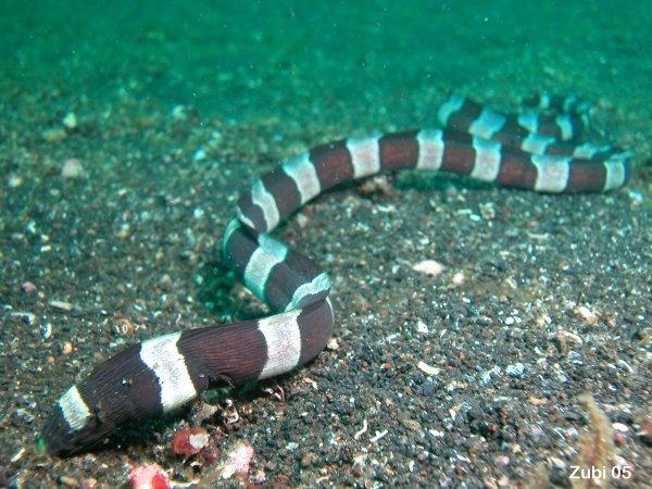 Harlequin Snake