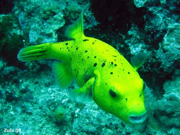 For sale yellow guineafowl dogface puffer tropical fish for Dwarf puffer fish for sale