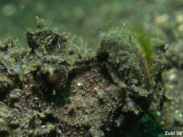 2 knochenfische scorpaenidae skorpionfisch rotfeuerfisch teufelsfisch steinfisch rhinopias. Black Bedroom Furniture Sets. Home Design Ideas