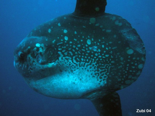 MOLA MOLA FISH PICTURES