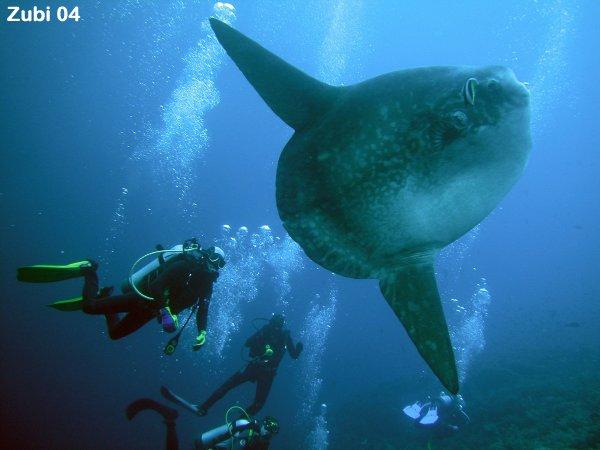 Рыба- луна самая плодовитая рыба в мире.  Она откладывает до 300...