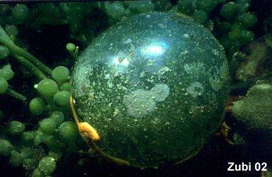 La célula mas grande (dimensiones y formas de las células)