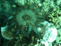 Crown-of-thorns Starfish - Acanthaster planci - Dornenkronen Seestern