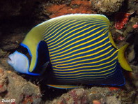 Emperor angelfish - Pomacanthus imperator - Imperator Kaiserfisch