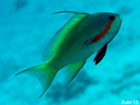 Threadfin Anthias - <em>Pseudanthias huchti</em> - Gr&uuml;ner Fahnenbarsch