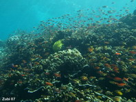 Cloud of Anthias over the reef - Fahnenbarsche-Wolke über dem Riff
