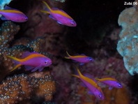 Yellow-striped Anthias - Pseudanthias tuka - Purpur-Fahnenbarsch