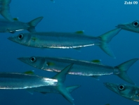 Blackspot Barracuda - Sphyraena forsteri - Brustfleck Barrakuda