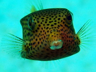 Bluetail Boxfish (Trunkfish) - Ostracion cyanurus - Arabischer Kofferfisch