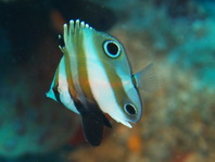 Two-eyed Butterflyfish - Coradion melanopus - Doppelaugen-Coradion