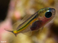 Glassfish (Cardinalfish) - Ambassis sp - Glasfisch
