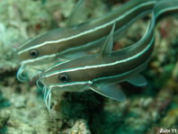 Striped Catfish - <em>Plotosus lineatus</em> - Gestreifter Korallenwels