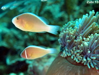 Skunk and Pink Anemonefish together - Amphiprion akallopisos and <em>Amphiprion perideraion</em> - Weissr&uuml;cken und Halsband Anemonenfisch zusammen