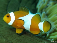 False clown anemonefish - <em>Amphiprion ocellaris</em> - Orange-Ringel Anemonenfisch