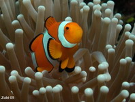 False clown Anemonefish (Clownfish) - <em>Amphiprion ocellaris</em> - Orange-Ringel Anemonenfisch (Clownfisch)